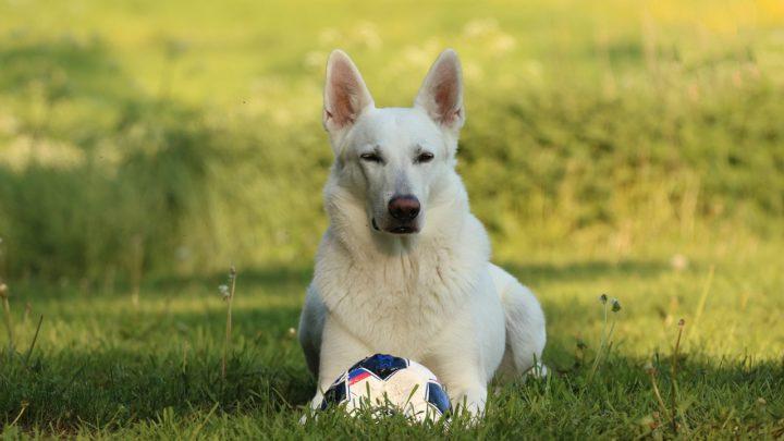 «Белая тень» — история спасения одного пса